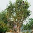 Пуэр Подношение императору, Ча Дьен , 1990г.